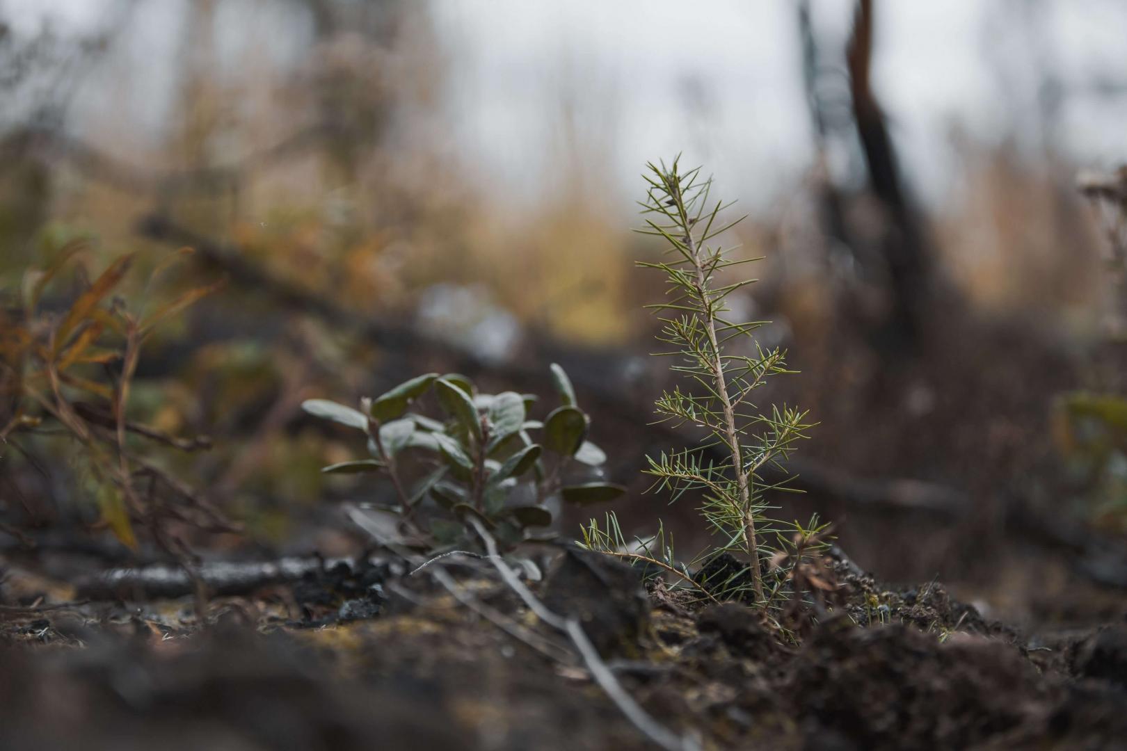 Hanceville fire reforestation